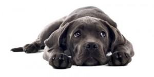 Braken-hond