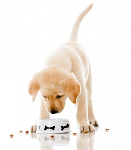 Etende-labradorpup