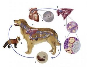 Longworm-bij-de-hond