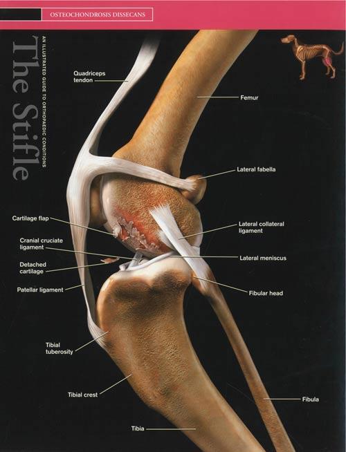 Osteochondrosis-dissecans-OCD-hond_2
