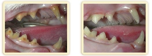 Tandplak-en-tandsteen-bij-de-kat