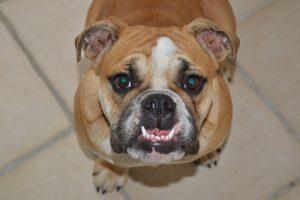 gebit-hond-onderbeet