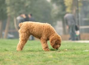 giardia-bij-de-hond