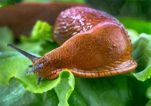 longwormen-slak